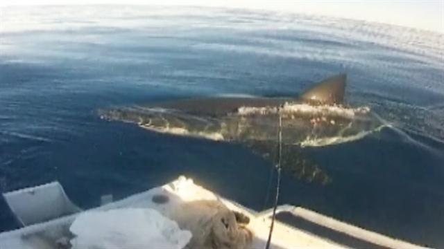 World: Great white shark stalks fishermen in Australia