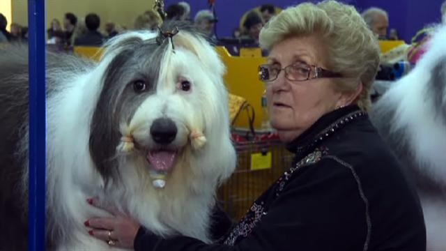 U.s.: Westminster Dog Show kicks off in NYC
