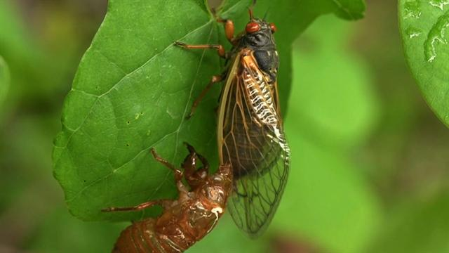 CBS Evening News: Cicadas: Making noise and love