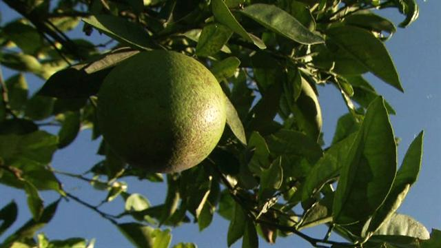 CBS This Morning : Saturday: Citrus disease attacks Florida's oranges