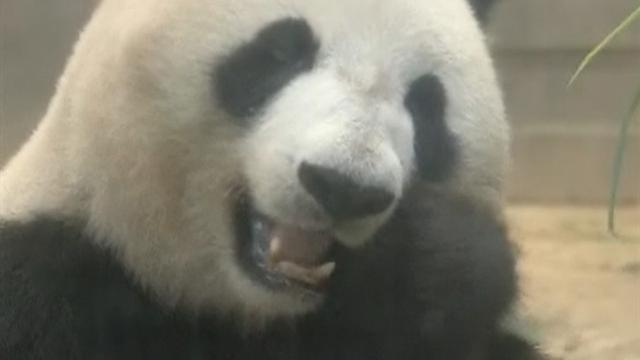 Excitement in Japan over possible new panda cub