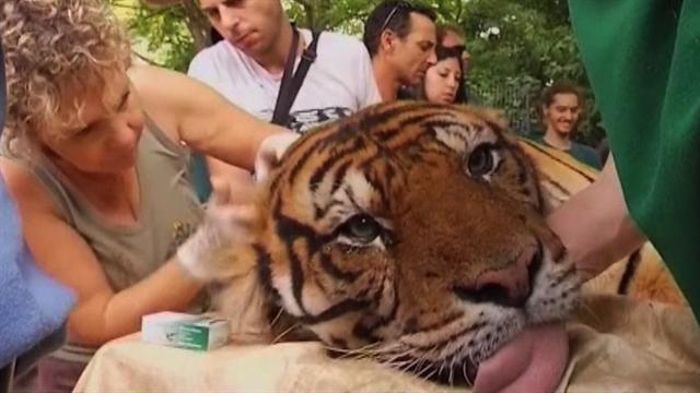 Israeli Zoo uses acupuncture to treat tiger