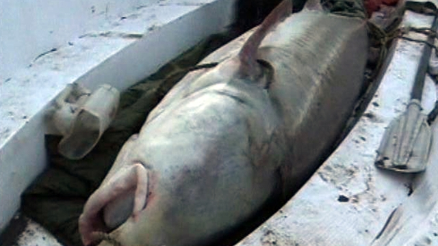 Catch of the day: 1,300-pound sturgeon