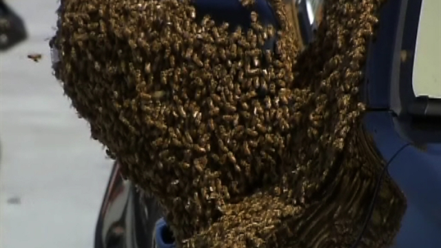 Bees swarm New York City car