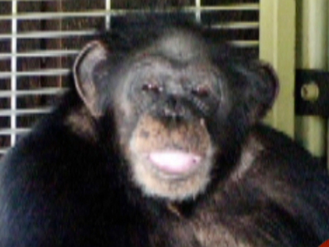 Travis Chimp Viagra