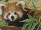 Wild Inside the National Zoo: Red Panda
