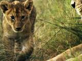 Lions In Battle
