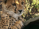 Cheetah:Price of Speed