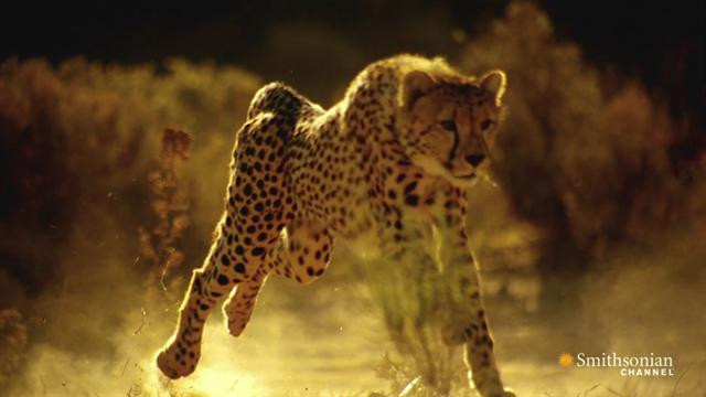 primetime: Speed Kills: Savannah - How to Outrun a Cheetah