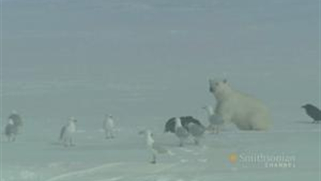 Polar Bears: Living on Thin Ice