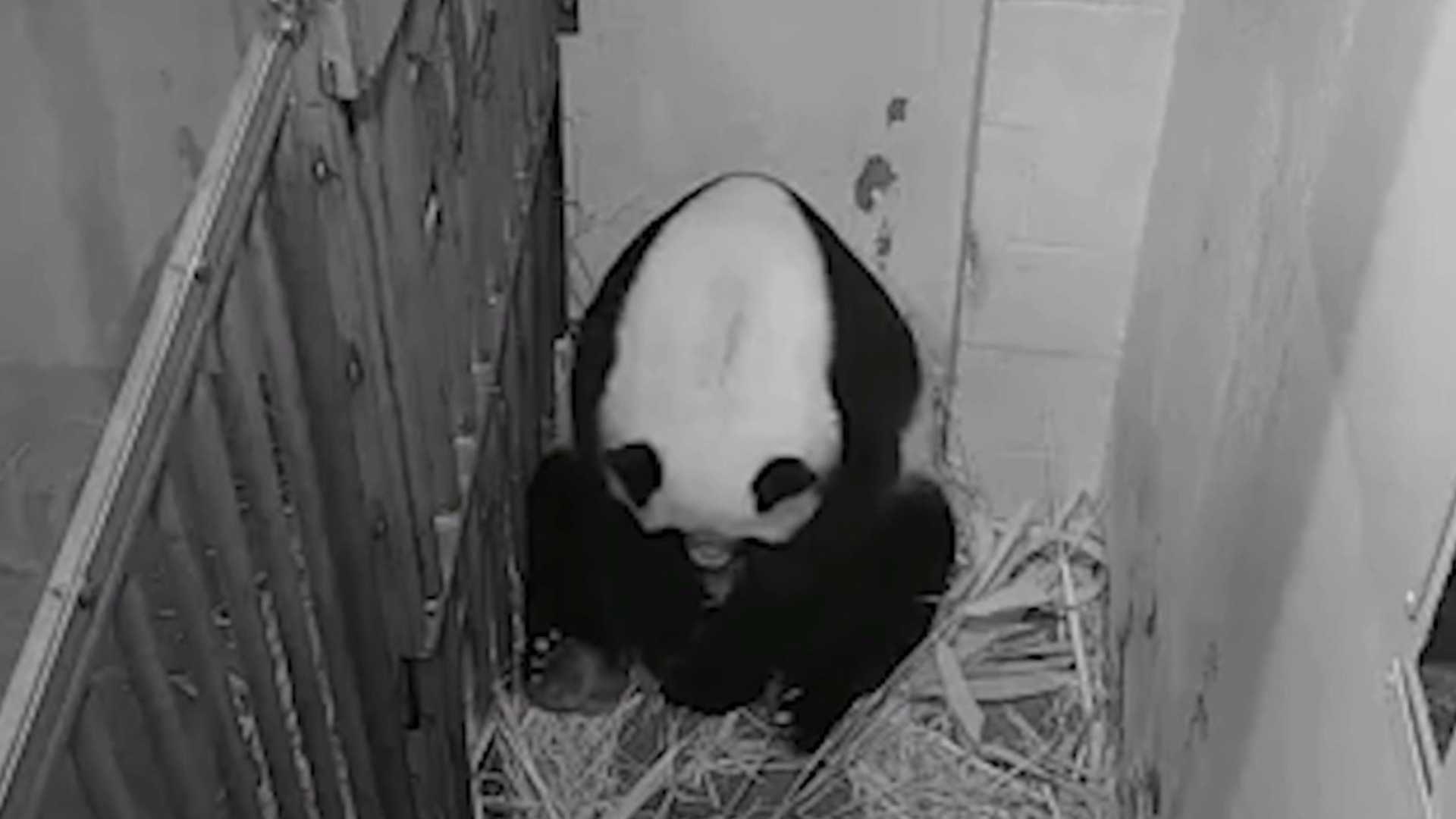 Watch Cbs Evening News Giant Panda Gives Birth At National Zoo Full Show On Cbs All Access