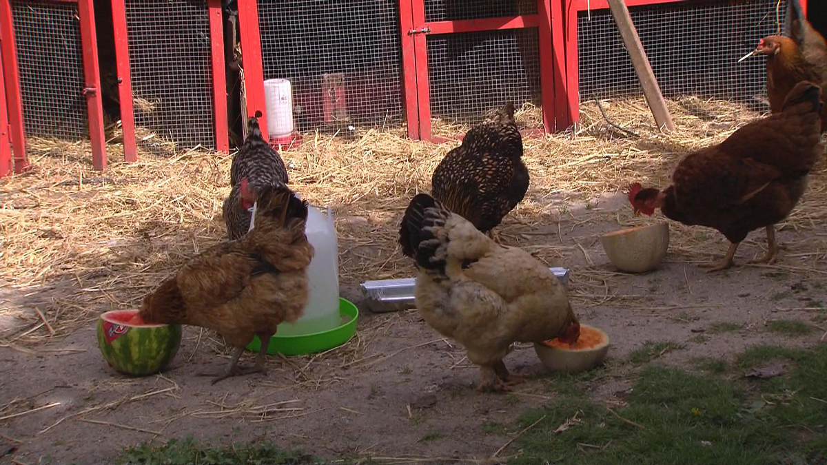 Watch CBS This Morning: Silicon Valley's backyard chickens ...