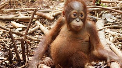 Orangutan Jungle School - Movin' on Up