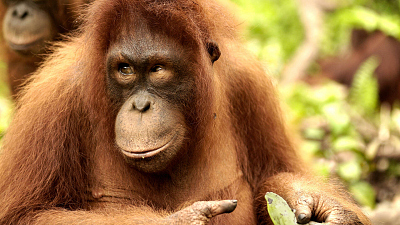 Orangutan Jungle School - King of the Jungle