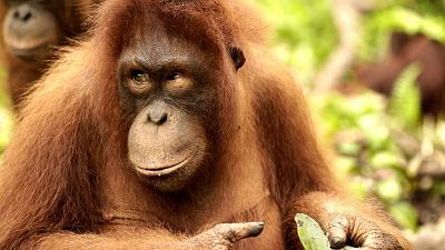 Orangutan Jungle School - King of the Jungle