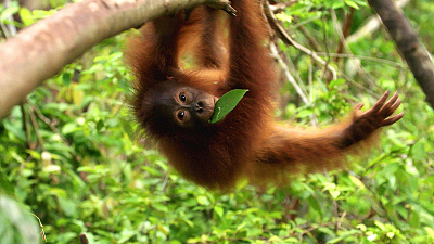 Orangutan Jungle School - Return to the Wild