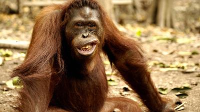 Orangutan Jungle School - The Misfits