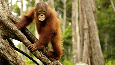 Orangutan Jungle School - Second Chances