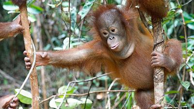 Orangutan Jungle School - And So It Begins
