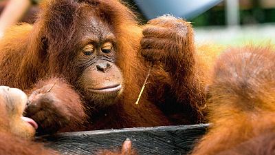 Orangutan Jungle School - Weighs and Means