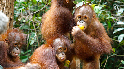 Orangutan Jungle School - A Whole New World