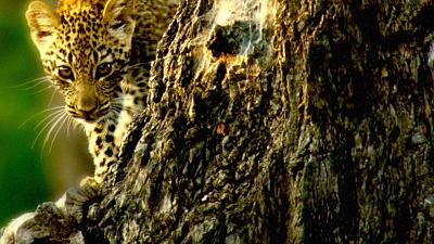 Africa's Wild Havens - Sausage Tree