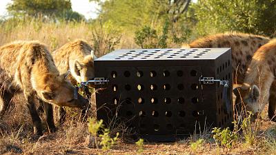 Killer IQ: Lion vs. Hyena - Predator Challenge