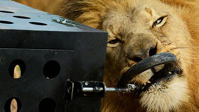 Killer IQ: Lion vs. Hyena - Predator Games