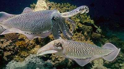 Arabian Seas - Magicians of the Reef
