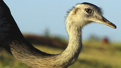 Brazil Untamed - Rheas Savanna