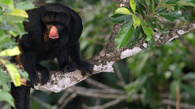 Brazil Untamed - Amazon Monkeys