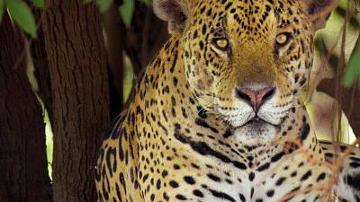 Brazil Untamed - Jaguar Den