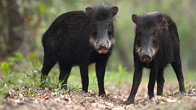 Brazil Untamed - Peccary Party