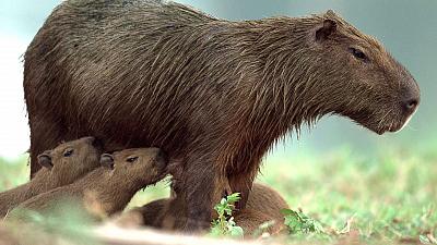 Brazil Untamed - Capybaras Pond