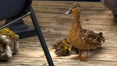 City Wildlife Rescue - Duckling Deliverance