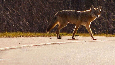 City Wildlife Rescue - Coyote Chase