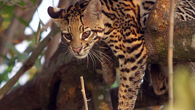 Brazil Untamed - Cat Country