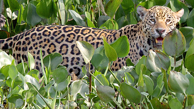 Brazil Untamed - The Pantanal