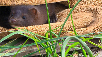 City Wildlife Rescue - Release of the Mink