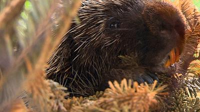 City Wildlife Rescue - Prickly Porcupine