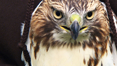 City Wildlife Rescue - Recovering Red-tailed Hawks