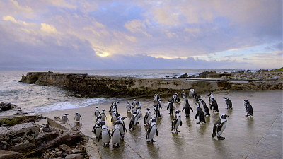 Coastal Africa - Algoa Bay: Last Refuge of the African Penguin