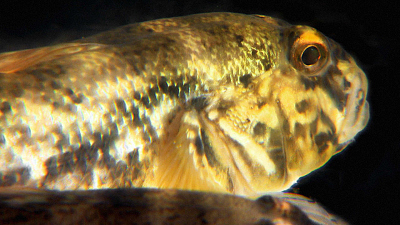 Great Lakes Wild - The Goby Effect