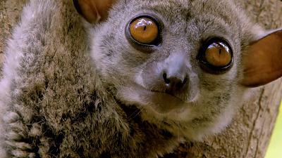 Land of Gremlins - Lemur Spirit