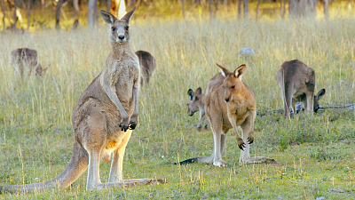Secret Life of the Kangaroo - Mob Rules