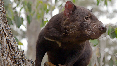 Secret Life of the Tasmanian Devil - Meet the Devils