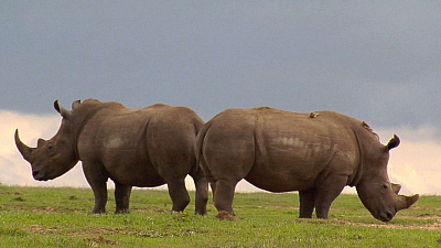 Ol Pejeta Diaries - White Rhinos of Enasoit