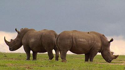 Ol Pejeta Diaries - White Rhinos of Enasoit