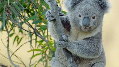 Secret Life of the Koala - Koala Country