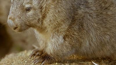 Secret Life of the Wombat - Wombat Wood